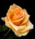 A laranja agradável aumentou Imagem de Stock Royalty Free