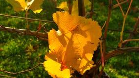 A laranja amarela sae em plantas da vinha no vinery O outono começa vineyar vídeos de arquivo