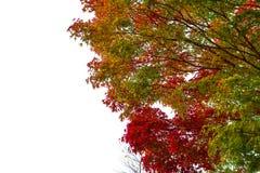 Laranja amarela verde vermelha da mudança da cor da folha de bordo da mola no fundo branco Fotos de Stock Royalty Free