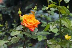 A laranja amarela vermelha bonita aumentou Imagem de Stock