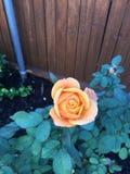 A laranja aumentou com água nas pétalas imagem de stock royalty free