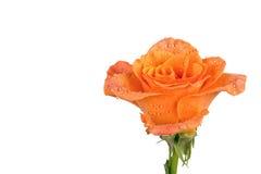 A laranja aumentou sobre o fundo branco Foto de Stock Royalty Free