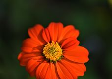 Laranja bonita close up colorido da flor da margarida fotos de stock