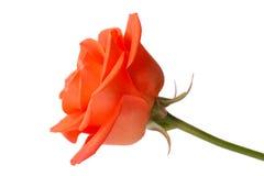 A laranja bonita levantou-se Imagem de Stock Royalty Free