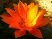 Laranja bonito bonita da flor de Butefull Fotografia de Stock