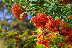 Laranja brilhante ashberry da baga madura Fotografia de Stock Royalty Free