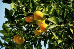Laranja da árvore de mandarino Fotos de Stock