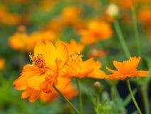 Laranja da flor Fotografia de Stock Royalty Free