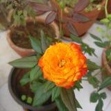 Laranja da flor no jardim imagens de stock royalty free
