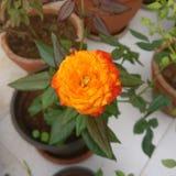 Laranja da flor no jardim fotografia de stock royalty free