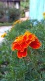 Laranja de Flor fotografia de stock