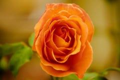 A laranja de florescência aumentou Imagens de Stock