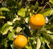 Laranja de Florida Foto de Stock Royalty Free