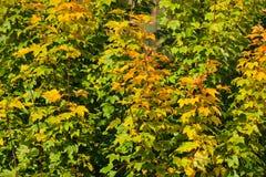 A laranja do amarelo das árvores da queda sae do fundo da natureza Imagem de Stock