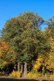 Laranja 37 do amarelo do céu azul das folhas de bordo do outono Imagens de Stock Royalty Free