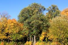 Laranja 36 do amarelo do céu azul das folhas de bordo do outono imagem de stock