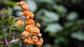 Laranja do blossfeldiana de Kalanchoe imagens de stock royalty free