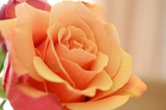 A laranja do close up aumentou Imagens de Stock Royalty Free