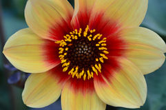 Laranja e vermelho da flor Fotos de Stock Royalty Free