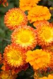 A laranja floresce crisântemos Foto de Stock