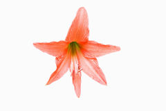 A laranja floresce Hippeastrum ou Amaryllis em vagabundos do jardim da casa da natureza Imagem de Stock Royalty Free