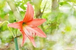A laranja floresce Hippeastrum ou Amaryllis no backgro do jardim da natureza Fotografia de Stock