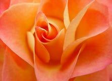a laranja levantou-se Fotografia de Stock