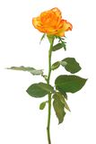 A laranja levantou-se Imagens de Stock Royalty Free