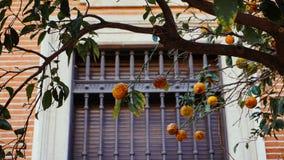 Laranjas de Valência alaranjadas em uma árvore imagem de stock