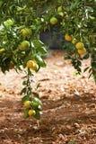Laranjas em uma árvore fotos de stock royalty free