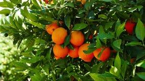 Laranjas maduras na árvore 02 vídeos de arquivo