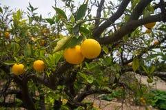 Laranjas no pomar de fruto em Califórnia Fotos de Stock Royalty Free
