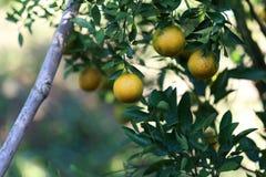 Laranjas orgânicas frescas Imagem de Stock