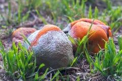 Laranjas podres na grama Foto de Stock