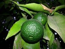 Laranjas verdes Fotografia de Stock
