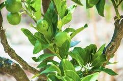 Laranjas verdes em uma árvore Close-up dos ramos e das folhas do verde Imagem de Stock Royalty Free