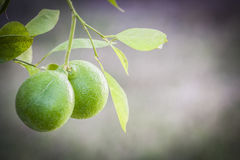 Laranjas verdes na árvore imagem de stock