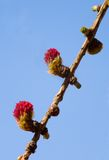 Larch. On a background of the sky Stock Photos
