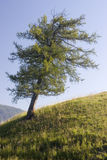 Larch Royalty Free Stock Photo