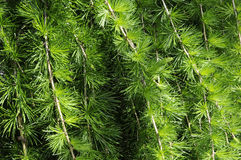 Larch Royalty Free Stock Image