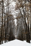 Larch alley with ski tracks in snowy forest Stock Image