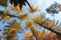 Larch in autumn Royalty Free Stock Photo