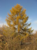 Larch in the autumn Stock Photo