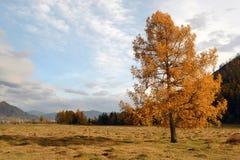 Larch autumn Royalty Free Stock Photo