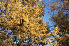 Larch in autumn. Northern Iceland autumn, with Larch turning golden yellow against the blue sky. In Husavik Park. Larix species Stock Photo