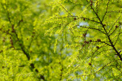 Larch Background Stock Photo