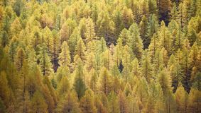 Larch background - autumn Royalty Free Stock Image