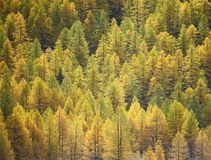 Larch background - autumn Stock Photos