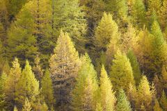 Larch background - autumn Royalty Free Stock Photography
