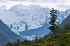Larch on a background of Mount Belukha. Trekking in the Altai Mountains Stock Image